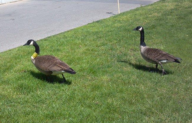 Get a gander at this goose at the NY Botanical Gardens