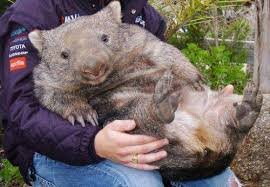 WOMBATS are protecting other species in the bush fires